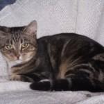 chat à adopter Fulgence