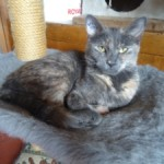 CEM chat adoption Tortie