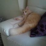 CEM chats perdus trouvés Coco