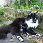 CEM chats perdus trouvés Loulou