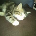 CEM chats perdus trouvés Heddy