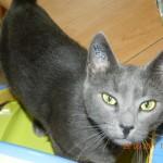 CEM chats perdus trouvés Lili-Rose