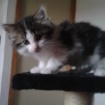 CEM chat adoption Gloria ( Noisette )
