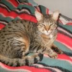 CEM chats perdus trouvés Enzo