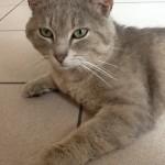 CEM chats perdus trouvés Minouche