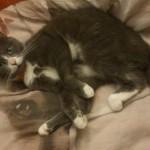 CEM chats perdus trouvés Chicha