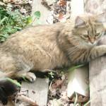 CEM chats perdus trouvés Calinette
