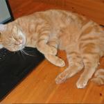 CEM chats perdus trouvés Pépito