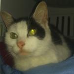 CEM chat trouvé Chatte